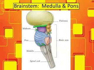 Brainstem:  Medulla & Pons