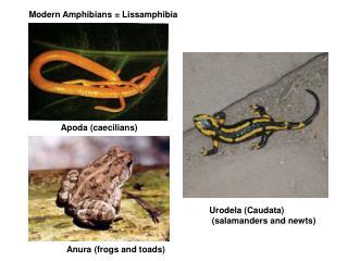 Modern Amphibians = Lissamphibia