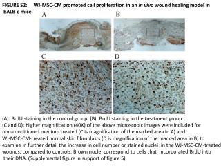FIGURE  S2:     WJ -MSC-CM promoted cell proliferation in an  in vivo  wound healing model  in