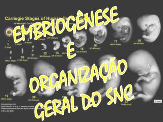 EMBRIOGÊNESE  E  ORGANIZAÇÃO GERAL DO SNC