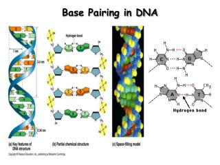 Base Pairing in DNA