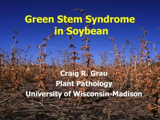 Green Stem Syndrome  in Soybean