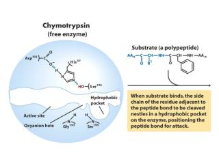 Trypsin has a peptide inhibitor called BPTI