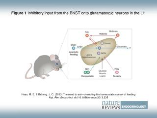 Figure 1  Inhibitory input from the BNST onto glutamatergic neurons in the LH