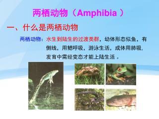 两栖动物( Amphibia  )