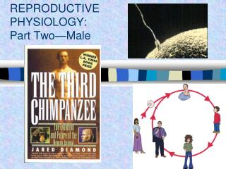 REPRODUCTIVE PHYSIOLOGY:   Part Two—Male