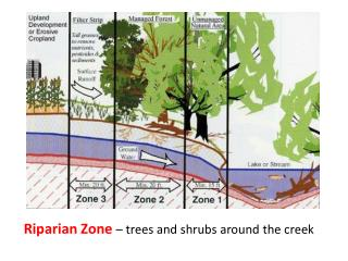 Riparian Zone  – trees and shrubs around the creek