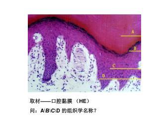 取材 —— 口腔黏膜 ( HE ) 问: A\B\C\D  的组织学名称?