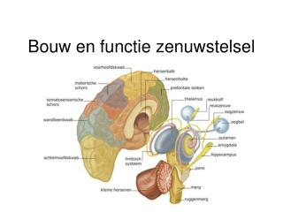 Bouw en functie zenuwstelsel