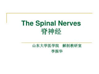 The Spinal Nerves 脊神经