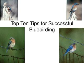 Top Ten Tips for Successful Bluebirding