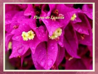 Flores de Luanda