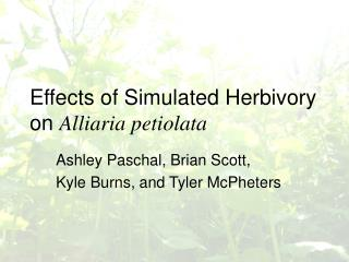Effects of Simulated Herbivory on  Alliaria petiolata