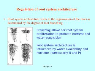 Regulation of root system architecture