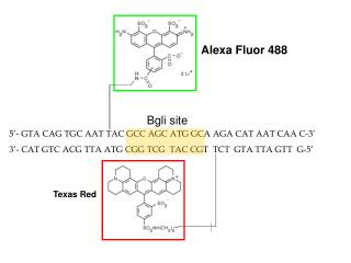 5'- GTA CAG TGC AAT  T AC  GCC AGC ATG GCA  AGA CAT AAT CAA C-3'