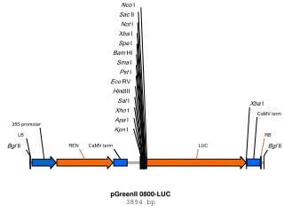 pGreenII 0800-LUC 3894 bp
