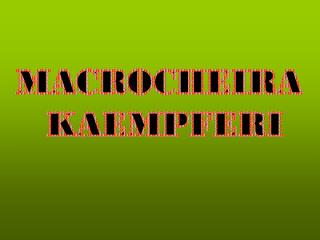 MACROCHEIRA  KAEMPFERI