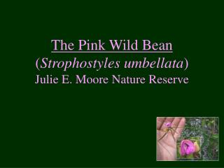 The Pink Wild Bean  ( Strophostyles umbellata )   Julie E. Moore Nature Reserve