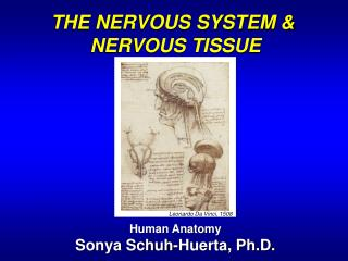 THE NERVOUS SYSTEM &  NERVOUS TISSUE Human Anatomy Sonya Schuh-Huerta, Ph.D.