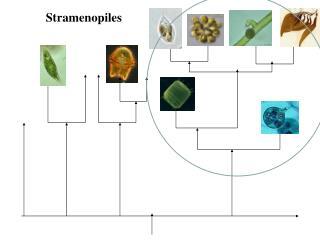 Stramenopiles