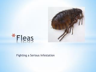 Fleas – Fighting a Serious Infestation