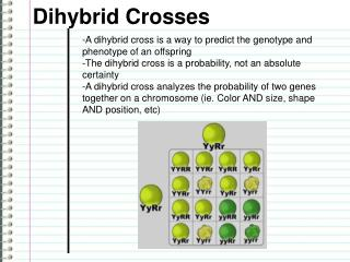 -A dihybrid cross is a way to predict the genotype and phenotype of an offspring