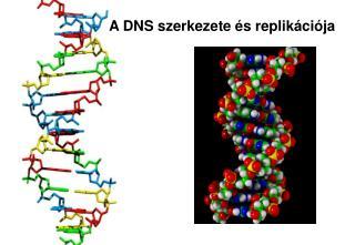 A DNS szerkezete �s replik�ci�ja