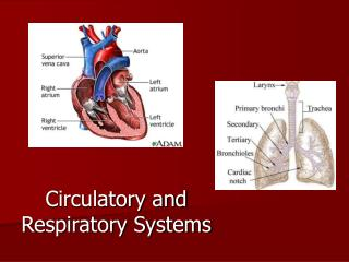 circulatory and respiratory system essay The role of the respiratory and circulatory systems in the provision the role of the circulatory and respiratory systems in system interrelates with.