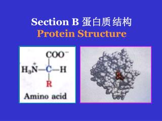 Section B  蛋白质	结构 Protein Structure