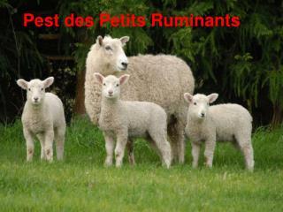 Pest des Petits Ruminants