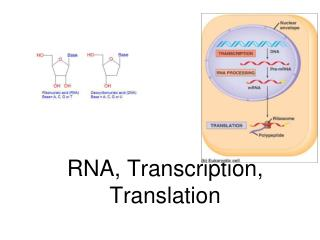 RNA, Transcription, Translation