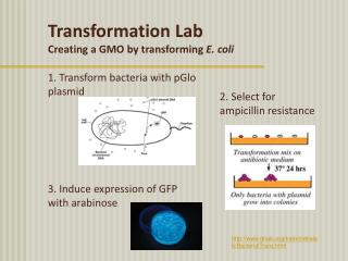 1. Transform bacteria with pGlo plasmid 3. Induce expression of GFP  with arabinose