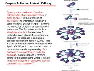 Caspase Activation Intrinsic Pathway