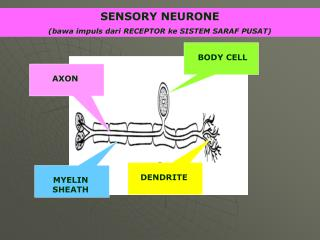 SENSORY NEURONE (bawa impuls dari RECEPTOR ke SISTEM SARAF PUSAT)