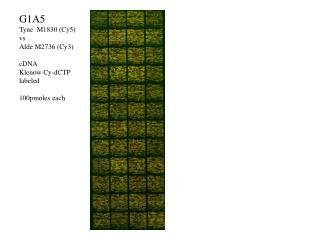 G1A5 Tyne  M1830 (Cy5) vs Alde M2736 (Cy3) cDNA Klenow Cy-dCTP labeled 100pmoles each