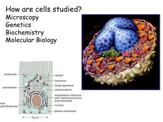 How are cells studied? Microscopy Genetics Biochemistry Molecular Biology