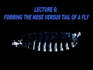 LECTURE 6:  FORMING THE NOSE VERSUS TAIL OF A FLY