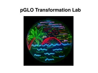 pGLO Transformation Lab