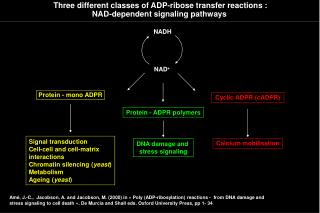 Three different classes of ADP-ribose transfer reactions : NAD-dependent signaling pathways