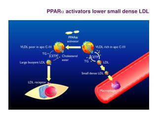 PPAR a  activators lower small dense LDL