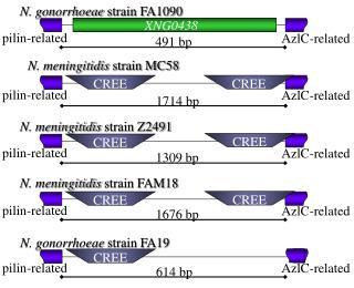 N. gonorrhoeae  strain FA1090