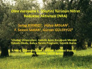 Olea europaea  L. (Zeytin) T�r�n�n Nitrat Red�ktaz Aktivitesi (NRA)