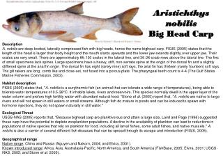 Aristichthys nobilis Big Head Carp