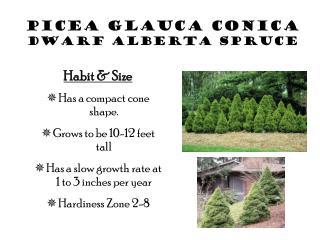 Picea Glauca Conica Dwarf Alberta Spruce