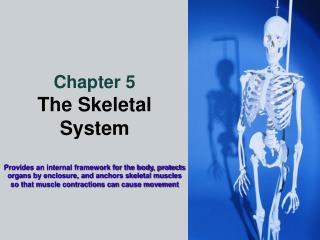 Chapter 5 The Skeletal System  Provides an internal framework for the body, protects organs by enclosure, and anchors sk