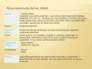 Pyrus communis  (Armut, Ahlat)