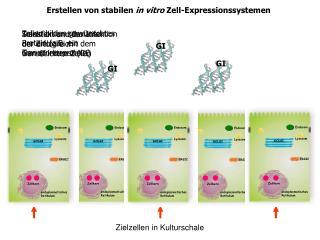 Erstellen von stabilen  in vitro  Zell-Expressionssystemen