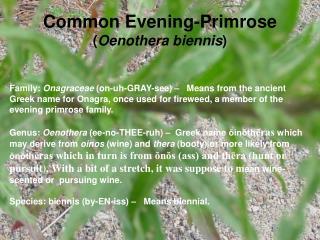 Common Evening-Primrose ( Oenothera biennis )