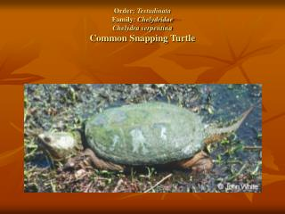 Order:  Testudinata Family:  Chelydridae Chelydra serpentina Common Snapping Turtle