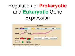 Regulation of  Prokaryotic  and  Eukaryotic  Gene Expression